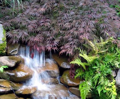 Japon Akça ağaç, su