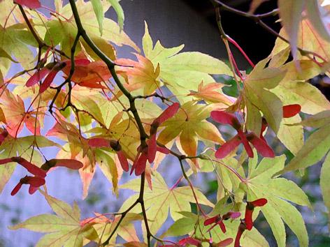 Acer palmatum tohum
