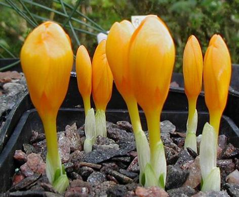 Ortalama 12 15 cm olan bu bitki doğru dikimle kışın bu renksiz