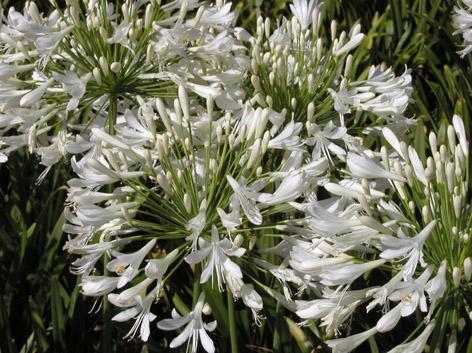 Beyez çiçek açan agapanthus