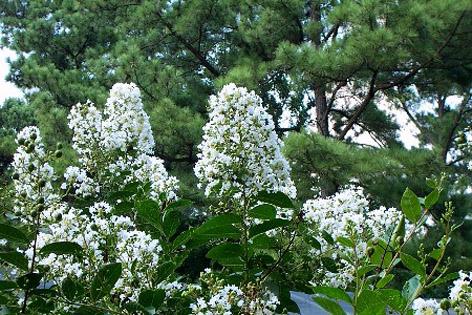 Beyaz çiçekli oya