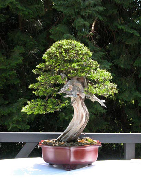 Bonsai Porsuk