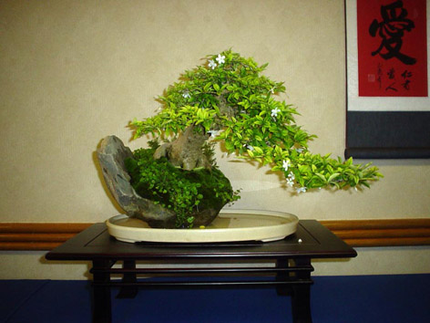 Bonsai yasemin