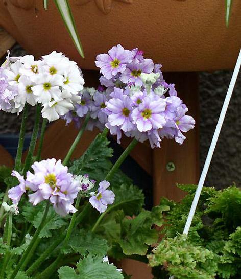 Boylanan çuha çiçeği, Primula Obcanica