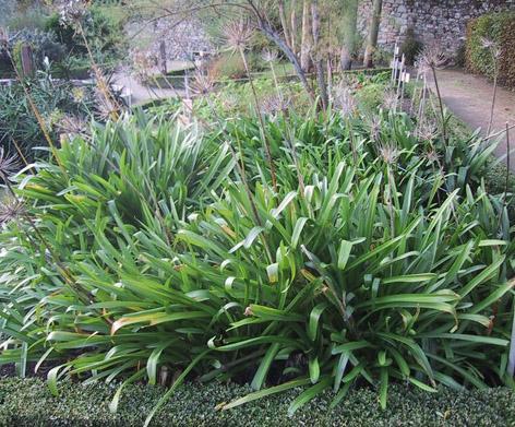 Çiçek açması bitmiş agapanthus