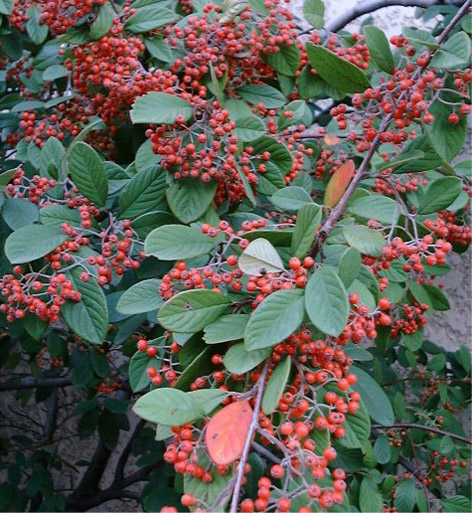 Cotoneaster S.