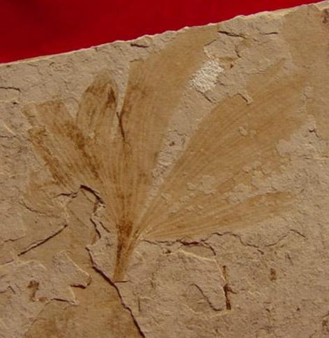 Ginkgo fosili