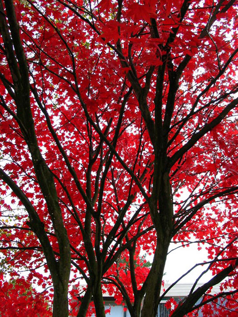 Japon akça ağacı gövde