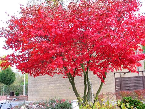 Japon akça ağaçları – acer palmatum