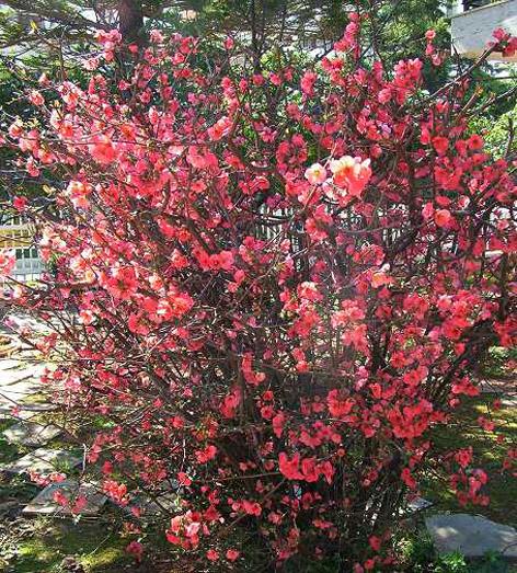 Japon Ayvası çiçeklenirken
