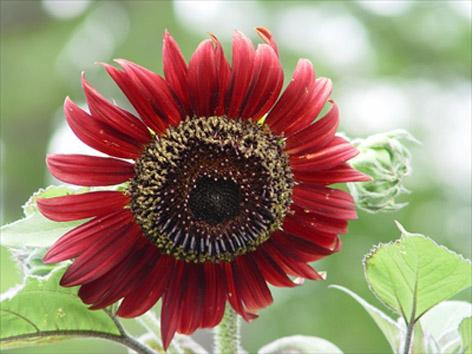 Kırmızı ayçiçeği
