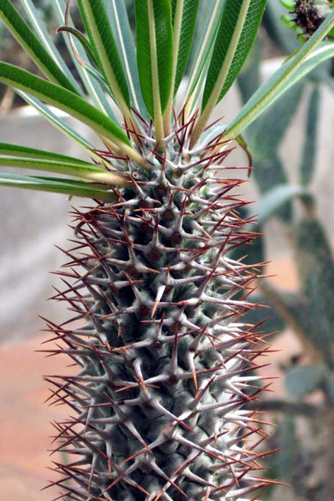 Madagaskar Palmiyesi
