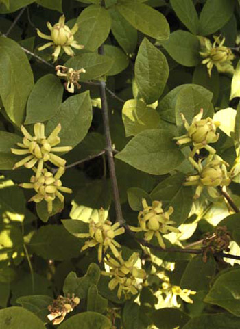 Kızılçanak sarı çiçekli