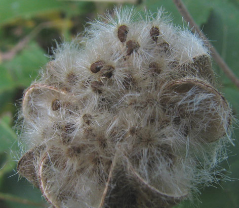 Hibiscus mutabilis tohumları