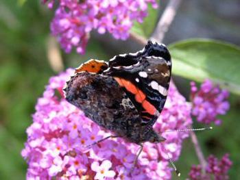 Kelebek Calisi
