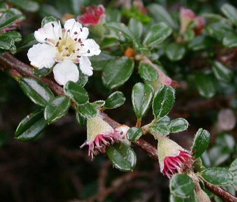 Cotoneaster çiçek