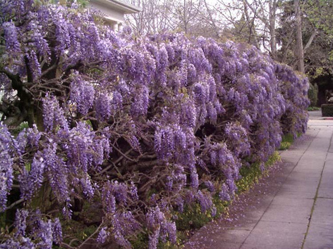 Yearbesides a year Everythe wisteria vines that grow Dont vigorously in the northscaping To jun learn about...