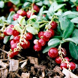 MCranberry
